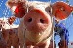 В РФ запретят поставки свиней с двух заводов Германии