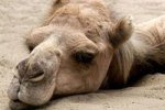 В Саудовской Аравии выбирают самого красивого верблюда