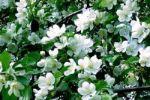 На тюменских дачах повторно зацвели яблони