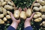 В России назревает картофельный кризис