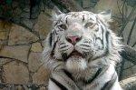 Приходите на «День белого тигра»