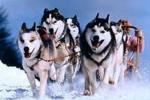 Готовится экспедиция длиной 3 тысячи километров на собачьих упряжках