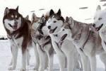 Готовится переход с Северного полюса на юг Гренландии на ездовых собаках
