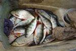 В Мурманске преступная группировка реализовала тухлую рыбу в промышленных масштабах