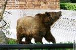 Медведи уже ходят по улицам городов России