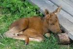 Роки живет с лошадями, ест сено, а обитатели Екатеринбургского зоопарка отъедаются к спячке