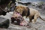 На глазах посетителей зоопарка был застрелен и скормлен хищникам жираф Мариус