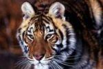 Амба - самая большая кошка на планете