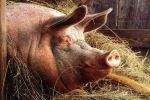 Британские военные проводят зверские испытания на животных