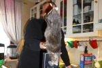 В Швеции поймали крысу-монстра
