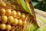 Жуки научились есть ГМ кукурузу, стоило ли «городить огород»?