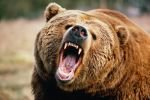 Истекая кровью после нападения медведицы, женщина прошла три километра чтобы добраться до помощи
