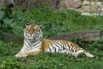 Спасенных тигров выпустят в большую жизнь