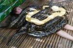 Змеиный массаж в филиппинском зоопарке: услуга не для слабонервных