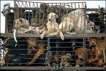 В Китае пройдет кулинарный фестиваль собачатины