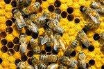 Обама предложил израсходовать на спасение пчел $50 млн