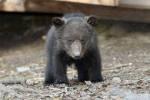 20 лет питомнику для осиротевших медвежат в Тверской области