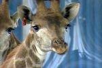 При перевозке в грузовике, жираф ударился головой о путепровод и погиб
