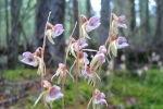 Странная орхидея Зюраткуля
