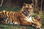 Владивосток отметил День Тигра