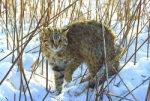 Знакомьтесь - амурский лесной кот