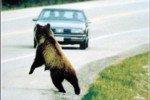 На Урале по улицам ходят медведи