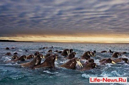 Как мигрируют животные