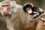 Не Бразилия, а Абхазия, где много диких обезьян?
