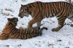 Тигров и леопардов на Дальнем Востоке подсчитают