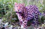 Фермеру возместили потерю теленка, съеденного леопардом