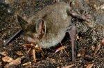 Летучие мыши, которые прекрасно бегают