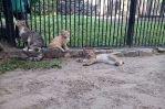 Мамы и мачехи в зоопарках