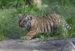 В Хабаровском крае найдены убитый и раненый тигрята