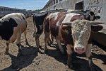 На Алтае похищено 103 бычка, поиск идет с применением БПЛА