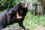 В Приморском крае гималайский медведь напал на женщину, обошлось без жертв