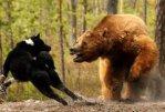 В таежном поселке Иркутской области собака спасла хозяйку от медведя