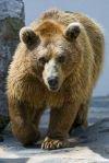 Все чаще в Приморье происходят встречи людей с медведями