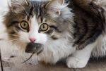 Почему кошки приносят мышей хозяевам