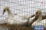 Еще раз о лебединой верности