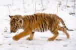 Сотрудники национального парка «Земля леопарда» спасают тигрят