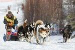 Камчатка отпраздновала начало гонки на ездовых собаках «Берингия-2016»