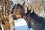 Из жизни звезд Приморского сафари-парка