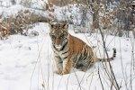 Центр реабилитации и реинтродукции тигров пополнился еще одной сиротой
