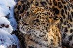 Популяция дальневосточного леопарда потихоньку увеличивается